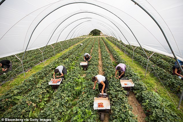 Fruit pickers collect strawberries at a farm inHereford,Herefordshire, in August 2018